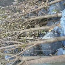 陆奥苹果树苗丰产果型、天津周边陆奥苹果树苗图片