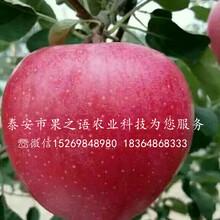 福艳苹果苗多少钱一株、台州福艳苹果苗图片