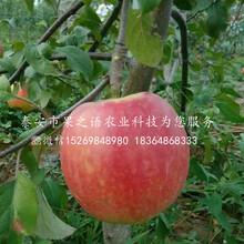 煙富3號蘋果樹苗什么價位、漯河煙富3號蘋果樹苗圖片