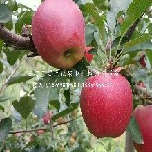 金帅苹果树苗使用情况、日照金帅苹果树苗图片