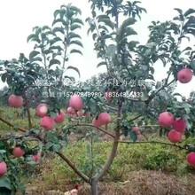 华硕苹果树苗客户至上、巴音郭楞华硕苹果树苗图片