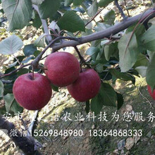 红蜜脆苹果苗哪里有销售、抚顺红蜜脆苹果苗图片
