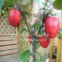 早紅嘎啦蘋果苗種植技術、葫蘆島早紅嘎啦蘋果苗圖片