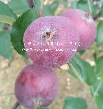 津轻姬苹果苗交易市场、安顺津轻姬苹果苗图片