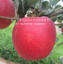 首红苹果树的作用、周口首红苹果树图片