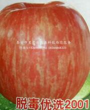华玉苹果苗出厂价格、漯河华玉苹果苗图片