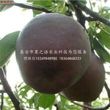 10公分蘋果苗種植環境與培育要求、佳木斯10公分蘋果苗圖片