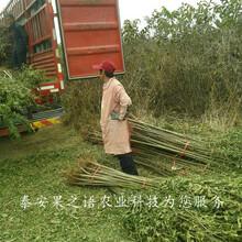 天津周边10cm香椿树价格实惠质优价廉图片
