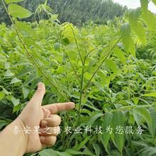 玉溪黑油香椿苗哪家好质优价廉图片