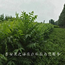 荆门6cm香椿苗种类繁多订购热线图片