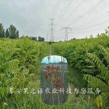 西青3公分香椿树苗供应商质优价廉图片