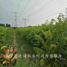 白银7公分香椿苗图片咨询电话图片