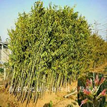 丹东9公分香椿树量大从优质优价廉图片