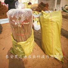 和平香椿树现货质优价廉图片