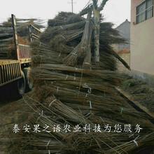 南川9公分香椿树不二之选订购热线图片