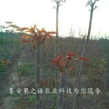西宁6cm香椿树价格咨询电话图片
