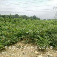 潮州3cm香椿树今年价格质优价廉图片
