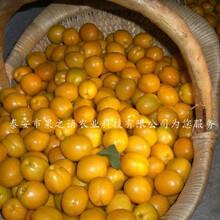 洛阳葫芦杏苗、2cm杏树销售销售图片