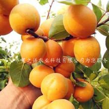 曲靖金太阳杏苗、3公分杏树苗种植技巧种植技巧图片