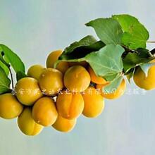 秀山北塞红杏树苗、香妃蜜杏苗哪里的正宗哪里的正宗图片