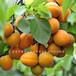 泉州珍珠油杏樹苗、葫蘆杏樹苗量大從優量大從優