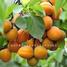 林芝龙王帽杏树苗、冀光杏苗价格价格图片