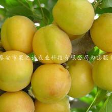 伊犁(li)哈薩克一窩蜂(feng)杏(xing)樹苗品種有哪些咨(zi)詢電(dian)話圖片