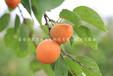 4cm杏树苗图片、4cm杏树苗哪家好