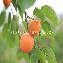佳木斯吊干(gan)杏(xing)苗供應商訂購熱線(xian)圖片