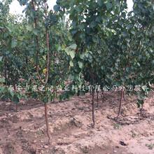 南平3公分杏樹苗哪里有賣質優價廉圖片