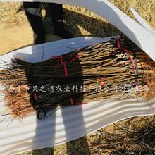 莆田西农25杏苗、珍珠油杏苗价格实惠价格实惠图片