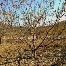 3公分杏(xing)樹苗哪里有賣圖片