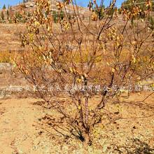 塔城駱駝黃杏樹苗不二之選質優價廉圖片