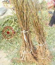 武威中农矮生无花果苗价格、A38无花果树苗供应商图片