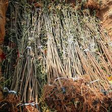 武汉玛斯依陶芬无花果苗厂家、A1213无花果树苗定购热线图片
