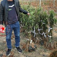 保山中农红无花果苗哪里有卖、原生型无花果无花果树苗今年价格图片