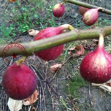 秀山卡利亚那无花果树苗多少钱一棵、原生型无花果无花果苗供应图片