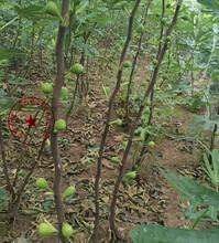 广州蓬莱柿无花果树苗出售、波姬红无花果苗如何挑选图片