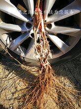铜梁早生内玛斯葡萄树苗种植技术2018最新报价