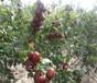 2公分冬枣树苗2公分冬枣树苗出售