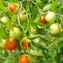 铜仁3cm枣树多少钱一棵咨询电话图片
