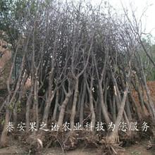 太原中枣树苗3号价格表订购热线图片