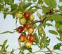 1cm俊枣苗哪里的好、温州6cm枣树品种齐全