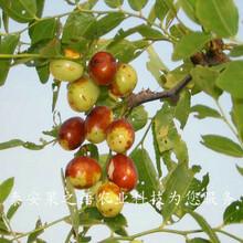 安康9cm俊枣树种植技术咨询电话图片