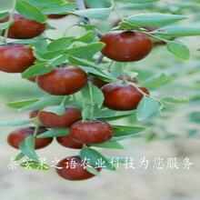 10cm枣树厂家图片