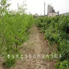 4cm俊枣树批发商图片