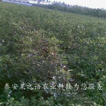绍兴1cm贵妃枣树苗销售订购热线图片
