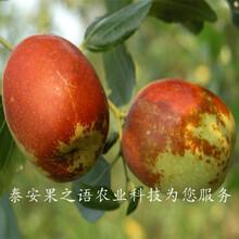 芜湖4cm冬枣树苗放心省心咨询电话图片