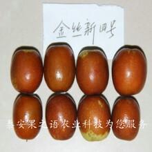 5公分枣苗图片