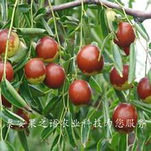 深圳磨盘枣苗品种咨询电话图片